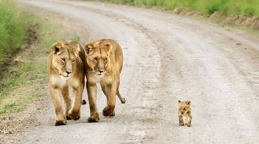 Family Lions